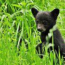 black bear cub by dc witmer