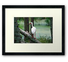 Sitting Ibis Framed Print