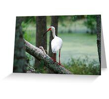 Sitting Ibis Greeting Card
