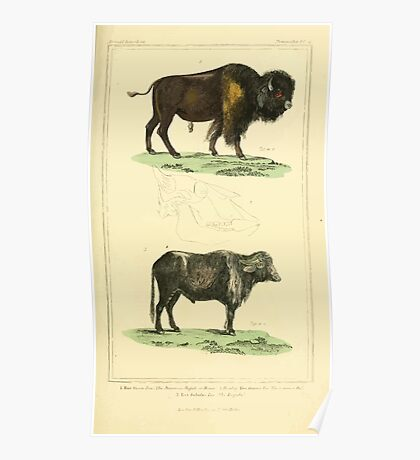 The Animal Kingdom by Georges Cuvier, PA Latreille, and Henry McMurtrie 1834 634 - Mammalia Mammals Poster