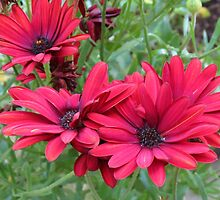 Tangle of Red Daisies by MidnightMelody