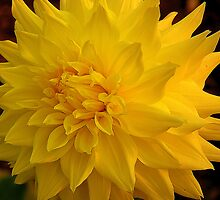 Dahlia by ConnorB