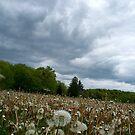 Fields of Dandelions / Dramatic  Sky  by fiat777