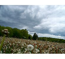 Fields of Dandelions / Dramatic  Sky  Photographic Print