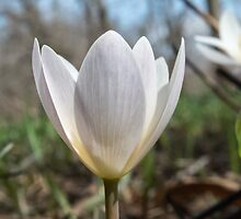 Bloodroot Opening by Deb Fedeler