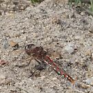 Dragonfly Variegated Meadowhawk Side by Deb Fedeler