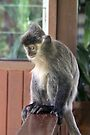 Silver Leaf Monkey by Lois Romer