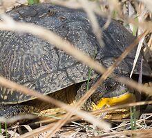 Blanding's Turtle Peek a Boo by Deb Fedeler