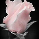 Pink Rose by crossmark