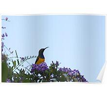 Sunbird sitting on a tree Poster