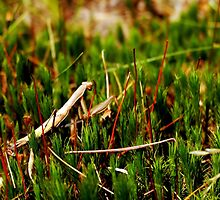 Mantis in Moss by Robert Bruce Anderson