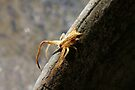 THOMISIDAE Crab Spider by Normf