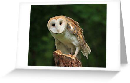 Barn Owl by noffi
