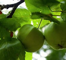 Green Crabapple by Robert Bruce Anderson