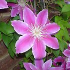 Purple Clematis by Paul Morley