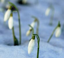 Snowdrops in icy snow by woolleyfir