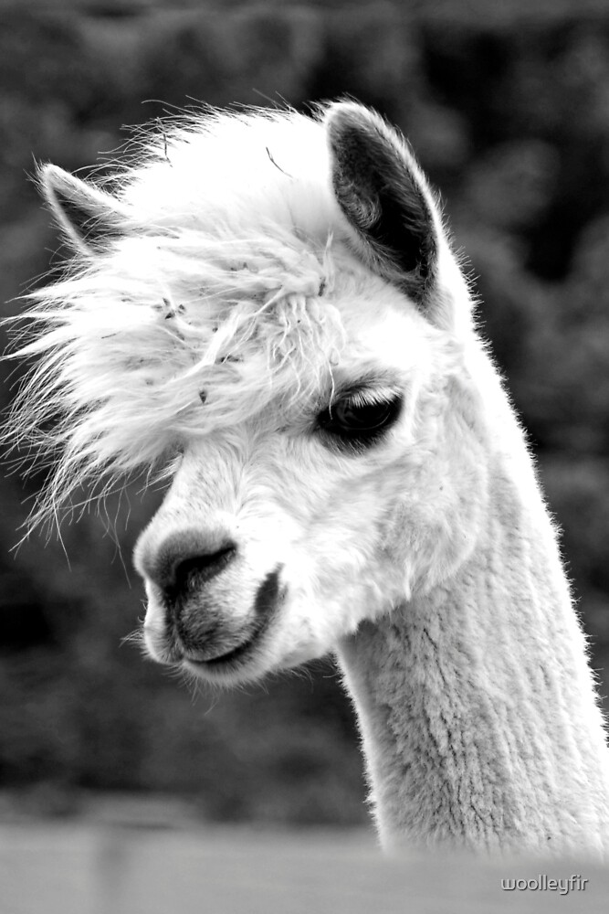Alpaca by woolleyfir