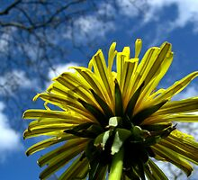 Dandelions by Dave Emmerson