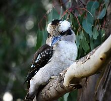 Kookaburra sits in the old gum tree by adbetron