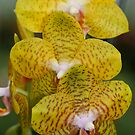 Orchid Yellow by Deborah  Benoit