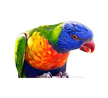 Lorikeet by Catherine Hamilton-Veal  ©