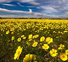 YELLOW Wildfowers in Lancaster by photosbyflood