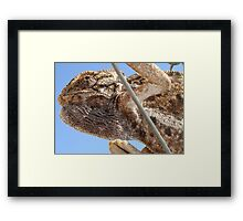 Close Up Of A Climbing Chameleon Framed Print