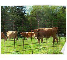 MN Farm Cows Poster