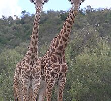 Rothschild Giraffes by Kellie Scott