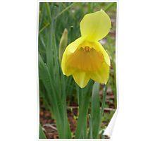 Daffodil. Poster