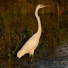 Egret At Sunset by byronbackyard