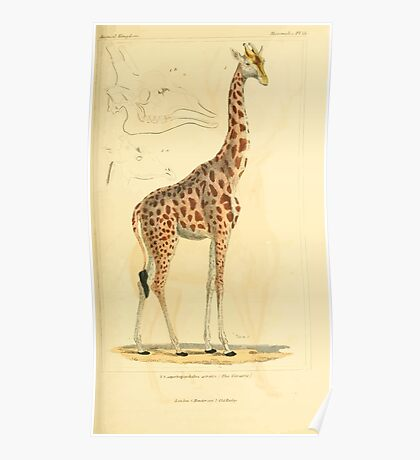 The Animal Kingdom by Georges Cuvier, PA Latreille, and Henry McMurtrie 1834 631 - Mammalia Mammals Poster