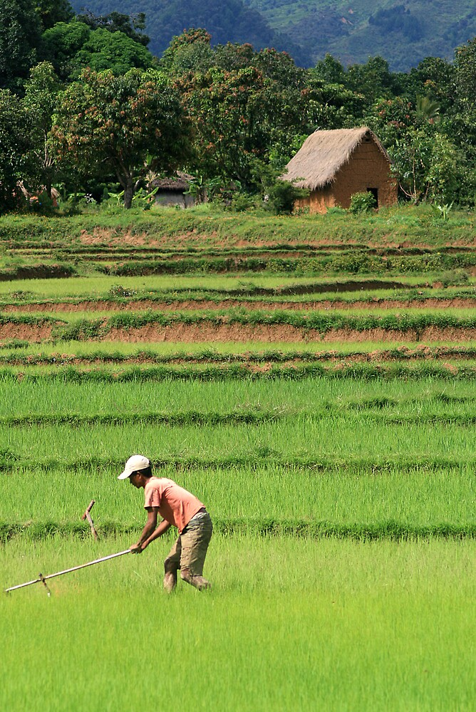 Green Field, Rice Paddy, Madagascar by Jane McDougall