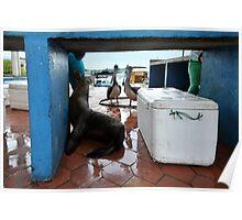 Begging Galapagos Sea Lion Poster