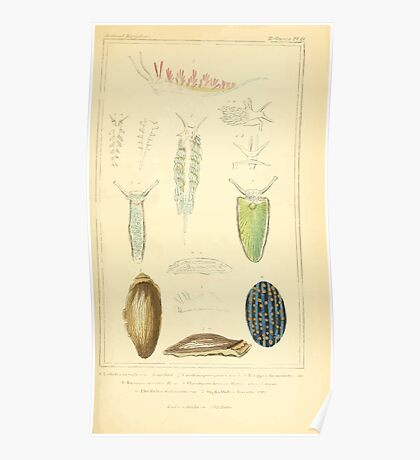 The Animal Kingdom by Georges Cuvier, PA Latreille, and Henry McMurtrie 1834  233 - Mollusca Mollusks Poster