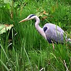 The Hungry Heron by AngelaFoster