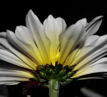 White Daisy Yellow Glow by julesdavis