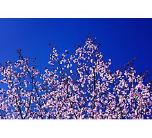 Spring Blossoming of a Sakura Photographic Print