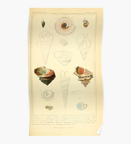 The Animal Kingdom by Georges Cuvier, PA Latreille, and Henry McMurtrie 1834  235 - Mollusca Mollusks Poster