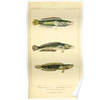 The Animal Kingdom by Georges Cuvier, PA Latreille, and Henry McMurtrie 1834  128 - Pisces Fish Poster