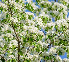 Crab apple blossom by luckypixel