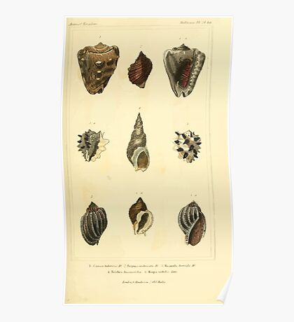 The Animal Kingdom by Georges Cuvier, PA Latreille, and Henry McMurtrie 1834  247 - Mollusca Mollusks Poster
