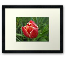 Wet and Rosey Tulip Framed Print