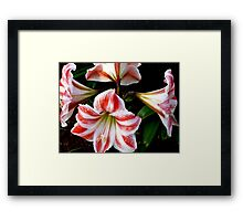 LILIES FOREVER - GORGEOUS WHITE-AND-RED-STRIPED BEAUTIES Framed Print
