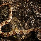 Southern Copperhead by Eric Abernethy