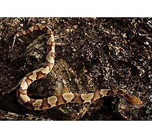 Southern Copperhead Photographic Print