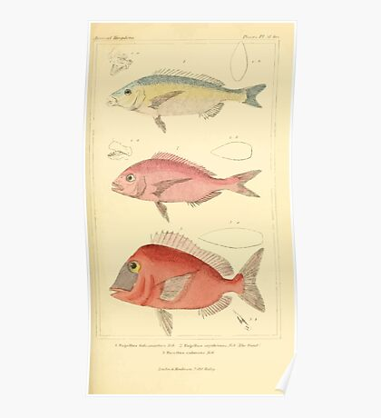 The Animal Kingdom by Georges Cuvier, PA Latreille, and Henry McMurtrie 1834  117 - Pisces Fish Poster