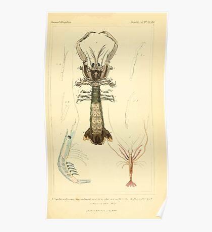 The Animal Kingdom by Georges Cuvier, PA Latreille, and Henry McMurtrie 1834  343 - Crustacea Crustaeans Poster