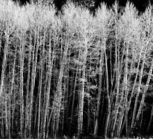 Aspen Trees, black and white by Bo Insogna