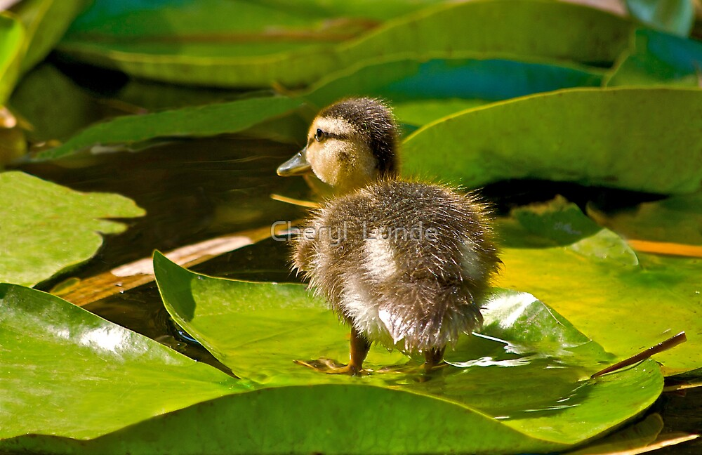 Lost Duckling by Cheryl  Lunde